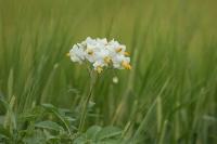 Aardappelbloesem – Solanumtuberosum