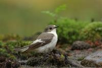 Bonte vliegenvanger – Ficedulahypoleuca