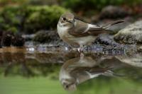 Bonte vliegenvanger vrouw Ficedula hypoleuca(2)
