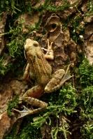Bruine kikker – Rana temporaria(3)