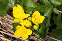 Dotterbloem – Calthapalustris