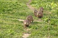 Dwergotters of Kleinklauwotters – Aonyxcinereus