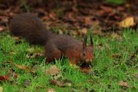 Eekhoorn – Sciurus vulgaris(3)