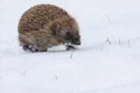 Egel in de sneeuw – Erinaceuseuropaeus