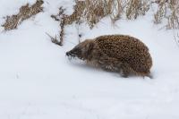 Egel is de weg kwijt in de sneeuw – Erinaceuseuropaeus