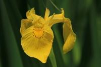 Gele lis – Irispseudacorus