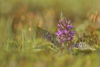 Gevlekte orchis – Dactylorhizamaculata
