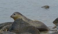 Gewone zeehond op rotsen – Phoca vitulina – Haborseal