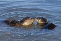 Gewone zeehonden – Phoca vitulina(7)