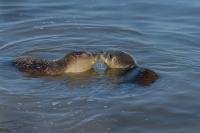 Gewone zeehonden spelend – Phoca vitulina – Haborseal