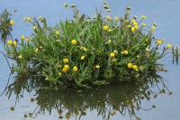 Goudknopje – Cotulacoronopifolia