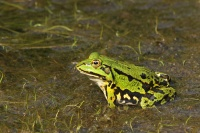 Groene kikker –Pelophylax