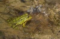 Groene kikker – Ranaesculenta