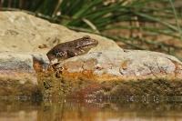 Iberische meerkikker – Pelophylax perezi(1)
