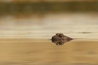Iberische meerkikker – Pelophylaxperezi