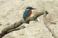 IJsvogel juv – Alcedo atthis(8)