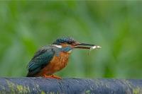 IJsvogel vrouw – Alcedo atthis(8)