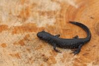 Kamsalamander – Trituruscristatus