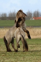 Konik paarden – Equus caballuscaballus