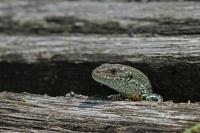 Levendbarende hagedis – Zootoca vivipara(1)