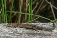 Levendbarende hagedis – Zootoca vivipara(3)