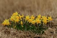 Narcis verwilderd – Narcissuspseudonarcissus