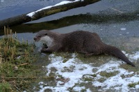 Otter – Lutra lutra(2)