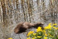 Otter – Lutralutra