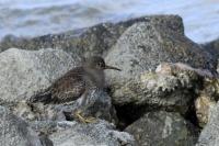 Paarse strandloper  – Calidrismaritima
