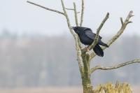 Raaf – Corvus corax(1)