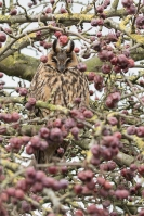 Ransuil in malusboom – Asiootus