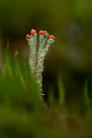 Rode heidelucifer – Cladoniafloerkeana