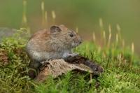 Rosse woelmuis bidden voor het eten – Myodesglariolus