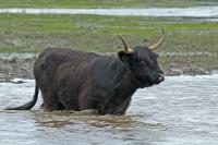 Schotse hooglander – Bos taurus ss(1)
