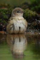 Tuinfluiter in bad – Sylviaborin