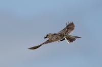 Veldleeuwerik in vlucht –  Alauda arvensis(1)