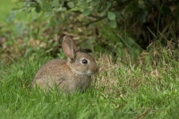 Wild konijn jong – _Oryctolaguscuniculus