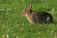 Wild konijn – Oryctolagus cuniculus(1)