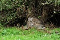 Wild konijn – Oryctolaguscuniculus