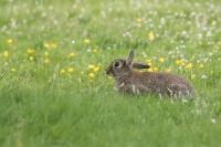 Wild konijn tussen de bloemen Oryctolaguscuniculus
