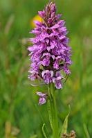 Wilde orchidee soldaatje – Orchismilitaris