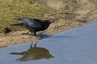 Zwarte kraai – Corvuscorone
