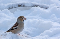 Appelvink – Coccothraustes coccothraustes(1)