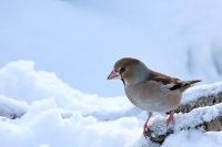 Appelvink – Coccothraustes coccothraustes(2)