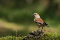Appelvink vrouw – Euthrixpotatoria
