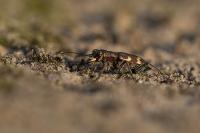 Basterdzandloopkever – Cicindela hybrida(1)