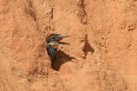 Bijeneter – Merops apiaster(2)