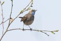 Blauwborst – Luscinia svecica(4)