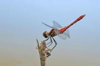 Bloedrode heidelibel foto Leo Wijering(2)
