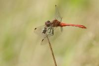 Bloedrode heidelibel foto LeoWijering